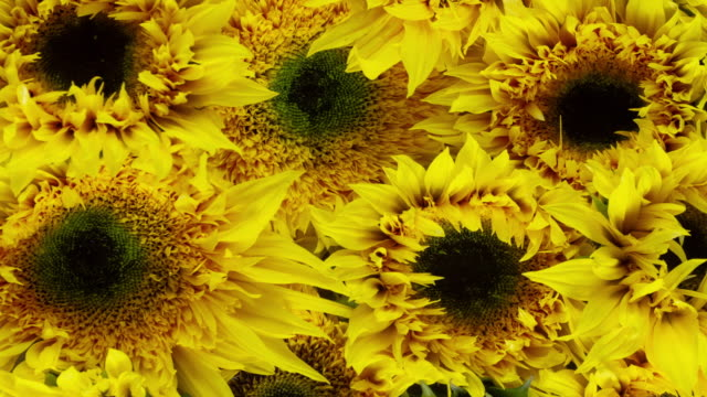 sunflowers blooming background - bouquet video stock e b–roll