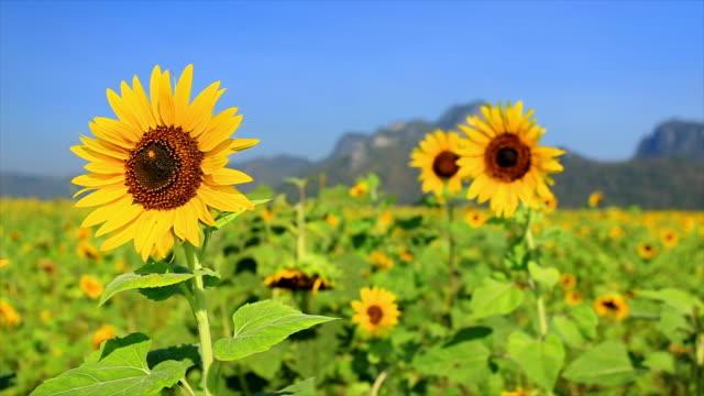 Sonnenblumen im Bauernhof mit blauem Himmel, Unseen Thailand Blumen blühen.