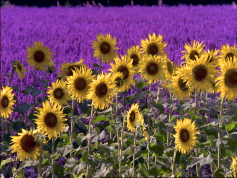 pan sunflowers blowing in wind / field of lavender in background / southern france - cinematography stock videos & royalty-free footage