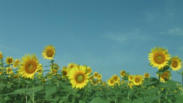 Sunflowers blowing in wind