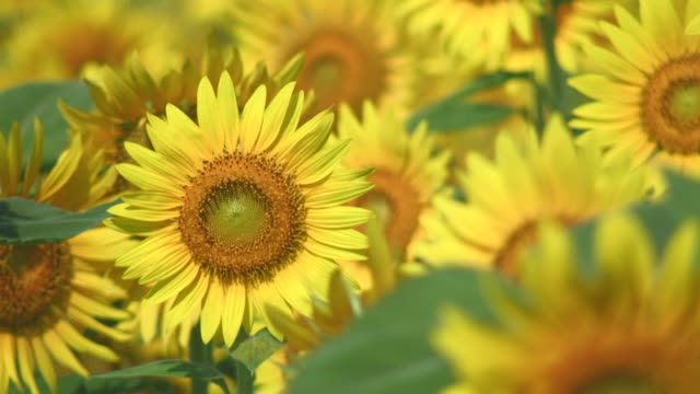 cu sunflowers blowing in wind - ヒマワリ点の映像素材/bロール