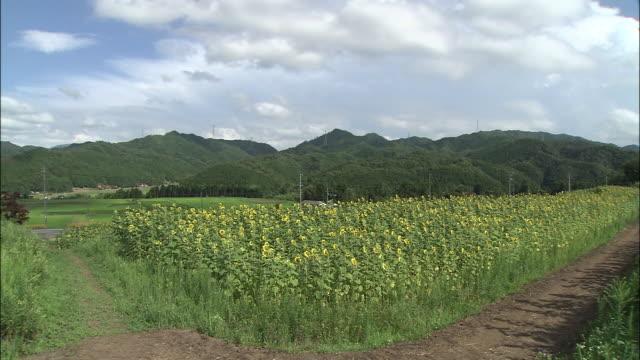 Sunflowers create beauty in a meadow in rural Japan.