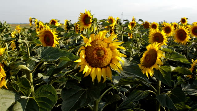 Sunflowers dancing in the wind.