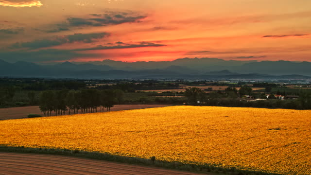 sunflowers field at sunset - common sunflower stock videos & royalty-free footage