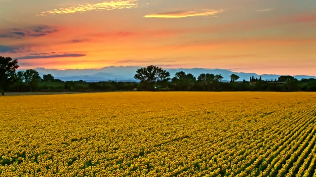 sunflowers field at sunset - meadow stock videos & royalty-free footage