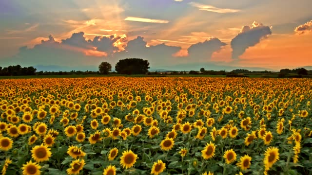 sunflowers field at sunset - sunflower stock videos and b-roll footage