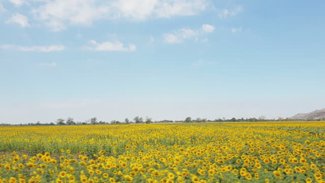 vidéos et rushes de champ de tournesols pour la production d'huile de tournesol biologique - image détériorée