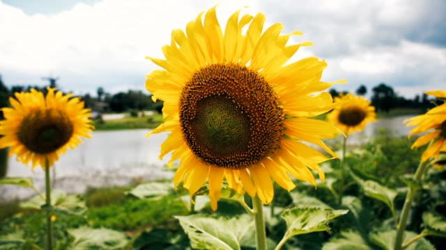Sonnenblumen Feld unter blauem Himmel