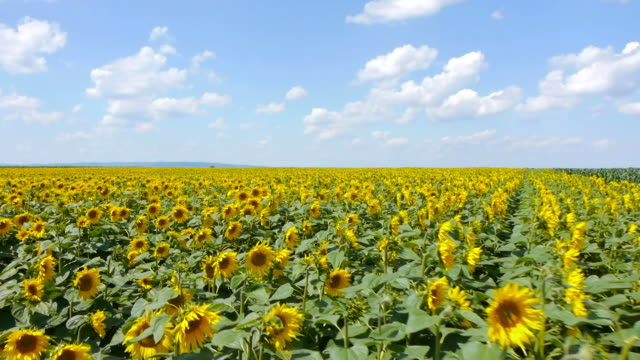 sunflowers field - sunflower stock videos and b-roll footage