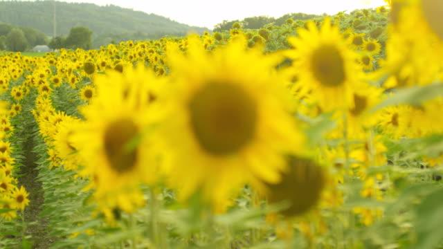 sunflowers follow focus - common sunflower stock videos & royalty-free footage