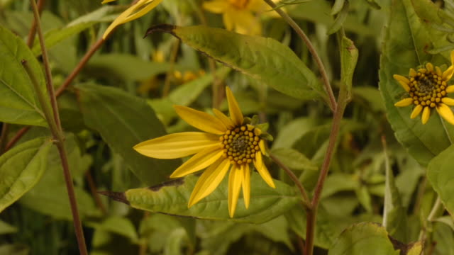 sunflowers grow in a field. available in hd. - plant stock videos & royalty-free footage