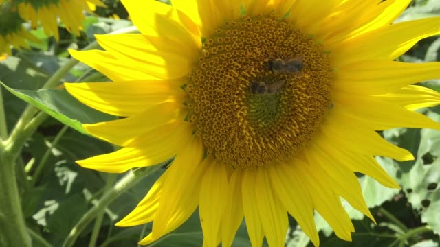 sunflowers growing in a farmer's field in ontario, canada. - common sunflower stock videos & royalty-free footage