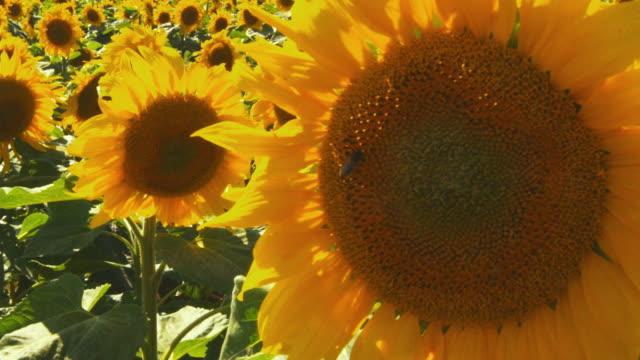 CU, ZO, Sunflowers growing in field, Alsace, France