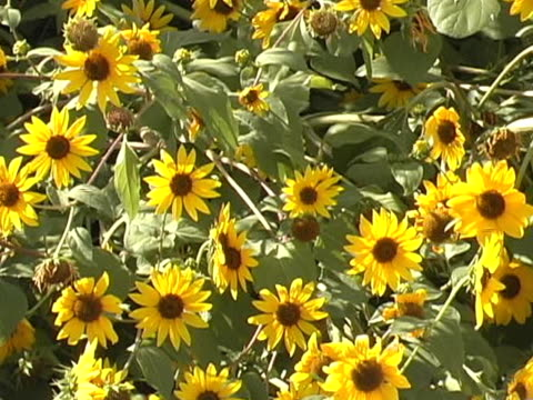 sunflowers: icon of country living - ranch icon stock videos & royalty-free footage