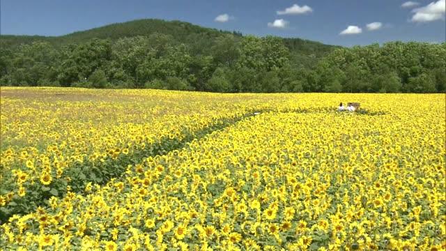 sunflowers in abashiri, hokkaido - ヒマワリ点の映像素材/bロール