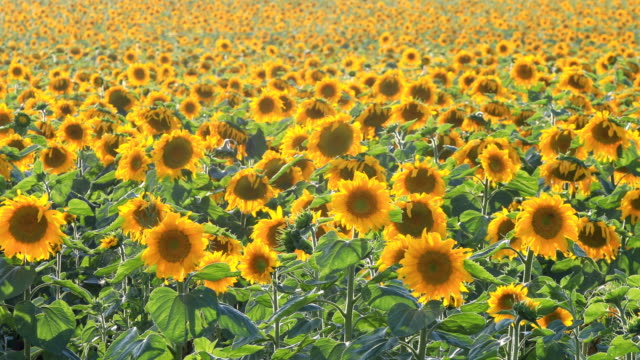 sunflowers in field - common sunflower stock videos & royalty-free footage