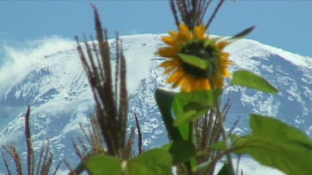 cu r / f sunflowers in foreground and mt. kilimanjaro in background / arusha, tanzania - キリマンジャロ山点の映像素材/bロール