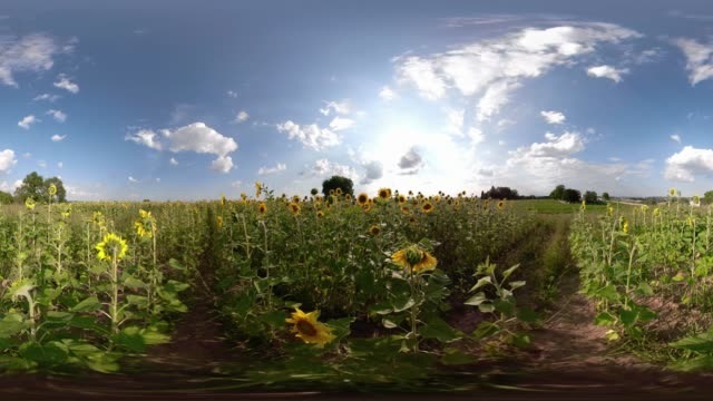 vídeos de stock e filmes b-roll de 360 vr / sunflowers in the field - panorama equiretangular
