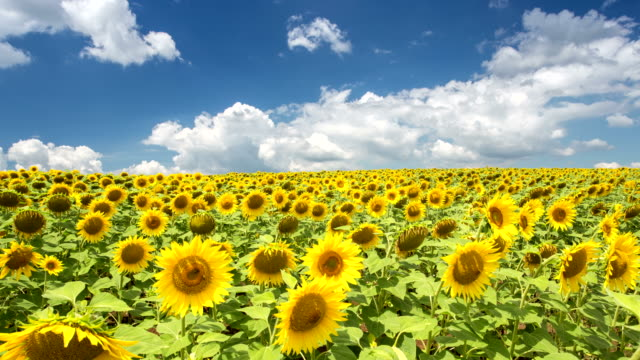 sunflowers on a field - time lapse - sunflower stock videos and b-roll footage