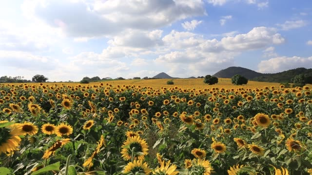 Sunflowers on the field against a cloudy sky.Original high quality video without any processing. Footage