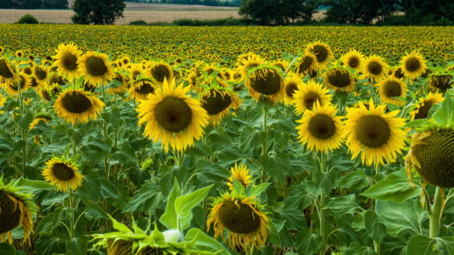 Sunflowers on the Plateau of Valensole