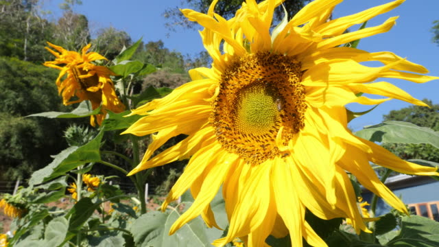 sunflowers slow motion in the wind - pollen grain stock videos & royalty-free footage