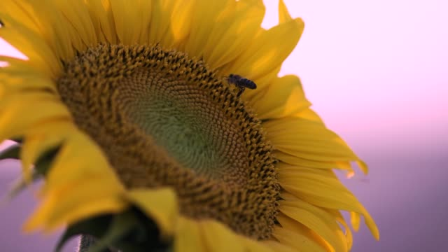 sunflowers slow motion - omega sun mirage stock videos & royalty-free footage