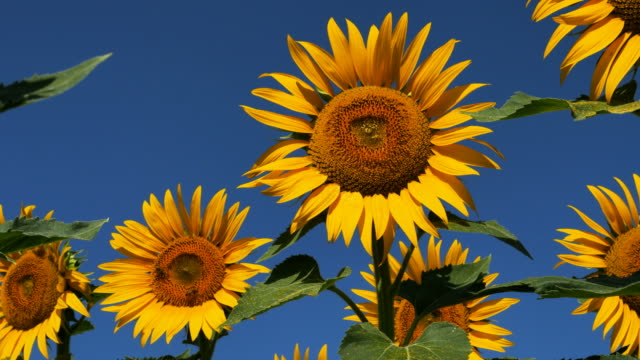 sunflowers ( helianthus annuus), south of france - provence alpes cote d'azur stock videos & royalty-free footage