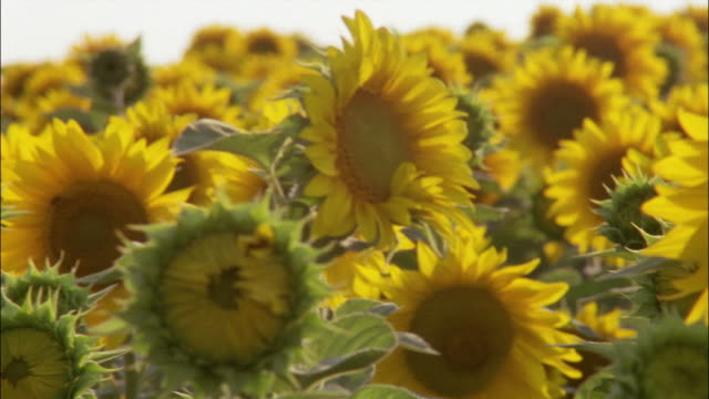 vídeos de stock, filmes e b-roll de sunflowers sway in a gentle breeze. - girassol