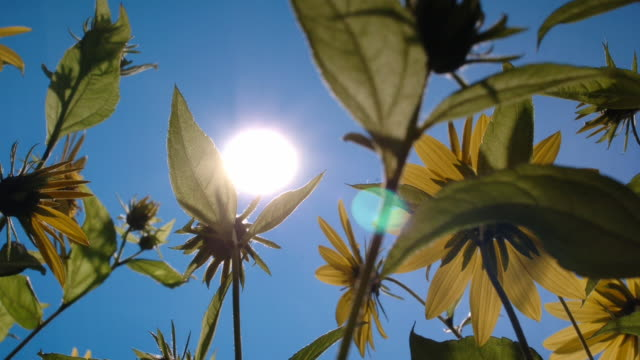 Sunflowers sway in front of the sun. Available in HD.