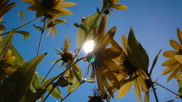 sunflowers sway in front of the sun. available in hd. - sunflower stock videos and b-roll footage