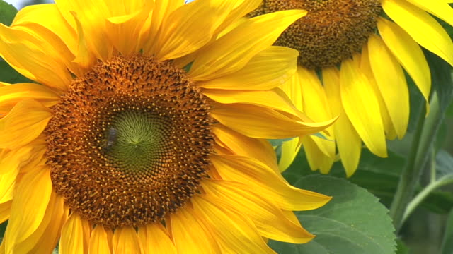 hd: sunflowers - monoculture stock videos & royalty-free footage