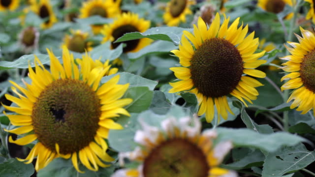 sunflowers - medium group of objects stock videos & royalty-free footage