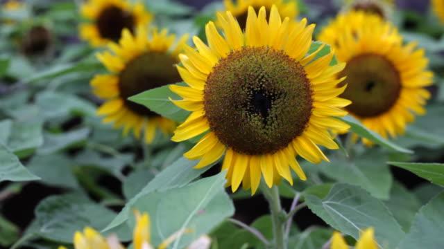 stockvideo's en b-roll-footage met sunflowers - middelgrote groep dingen