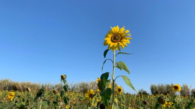 sunflowers - single flower stock videos & royalty-free footage