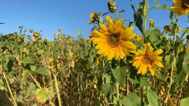 sunflowers - blossom stock videos & royalty-free footage