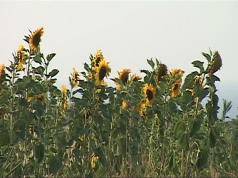 sunflowers - common sunflower stock videos & royalty-free footage