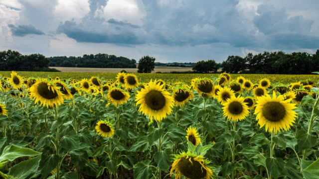 sunflowers - provence alpes cote d'azur stock videos & royalty-free footage