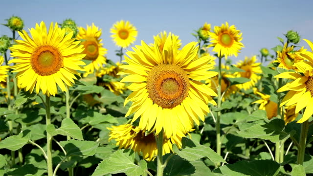 sunflowers with honey bees; hd dolly shot - common sunflower stock videos & royalty-free footage