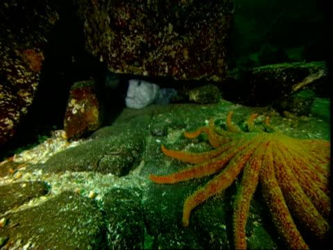 A sunflowwer seastar moves over the ocean floor toward a wolf eel hiding under a rock.