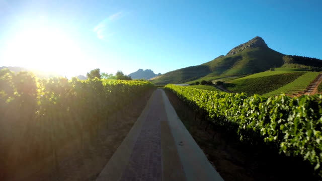 sunkissed vines - south africa stock videos & royalty-free footage