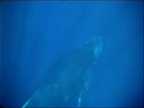 sunlight appears to radiate around a humpback whale swimming in the ocean. - cetacea stock videos & royalty-free footage