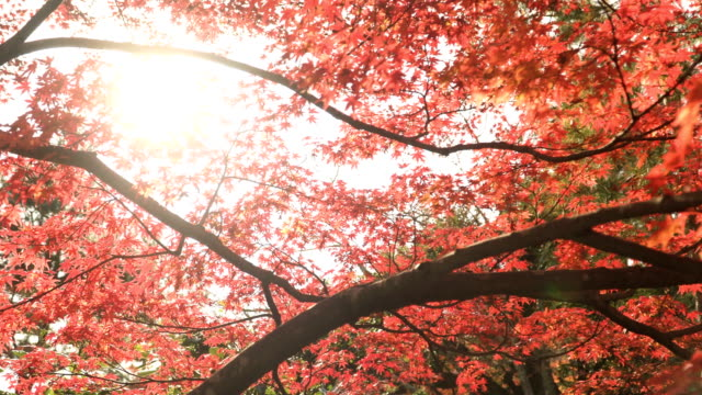 sunlight behind  red autumn leaf - autumn leaf color stock videos and b-roll footage