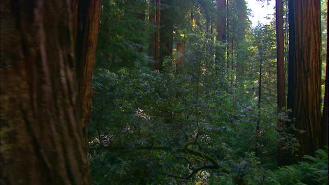 vídeos de stock e filmes b-roll de sunlight breaks through the trees in redwood national and state parks. - com sombra