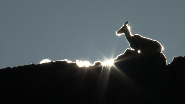 vídeos de stock, filmes e b-roll de sunlight bursting on bighorn sheep - superexposto
