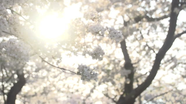 sunlight coming through cherry blossoms - political action committee stock videos & royalty-free footage