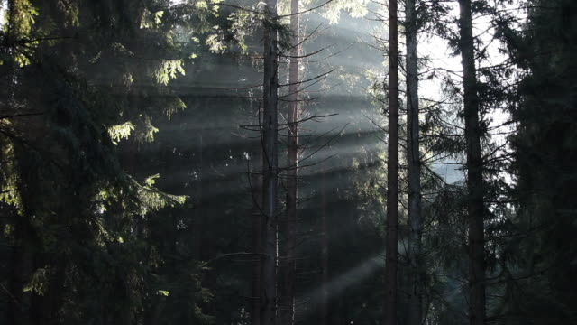 ws sunlight coming through fir forest  /  kastel-staadt, rhineland-palatinate, germany  - 木漏れ日点の映像素材/bロール