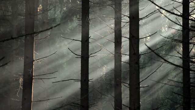 MS Sunlight coming through fir forest  /  Kastel-Staadt, Rhineland-Palatinate, Germany