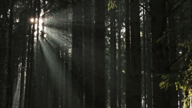 ws sunlight coming through fir forest  /  kastel-staadt, rhineland-palatinate, germany  - マツ科点の映像素材/bロール