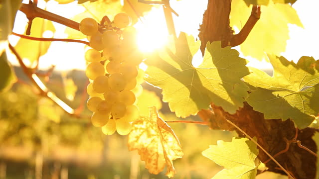 hd dolly: sunlight coming through grape in vineyard - vine stock videos & royalty-free footage